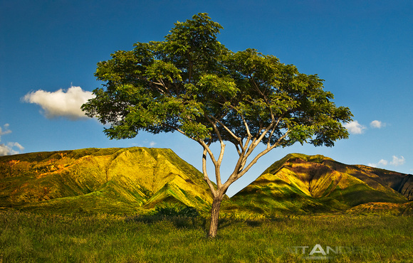 Honoapilani Tree at First Light by Matt Anderson