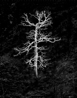 Burning Tree in BW
